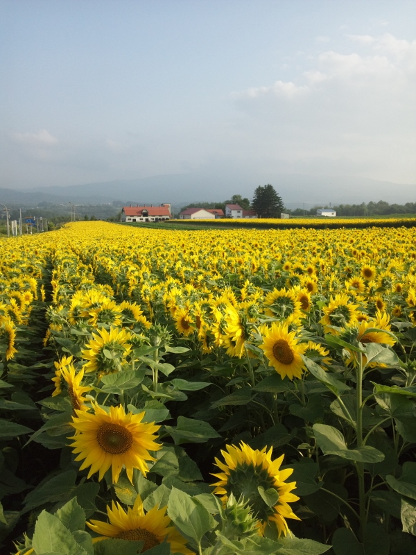 sunflower, niseko