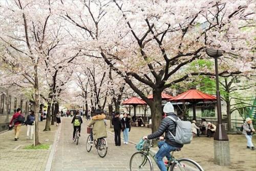 祇園白川の桜並木